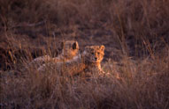 Cheetah Cubs,Toro Yaka Bush Lodge,Balule Nature Reserve,Kruger National Park,Accommodation,Bookings