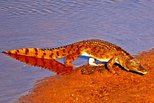 crocodile,Kruger National Park,Accommodation,Bookings